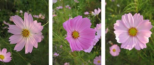 20091215kosumosupinkiroiro.jpg