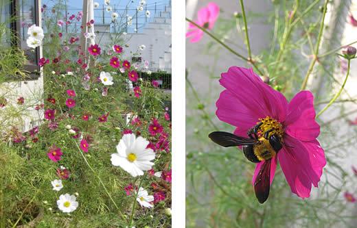 20091215kosumosurw&bee.jpg