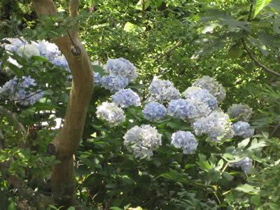 20091222ajisaishiro0801.jpg