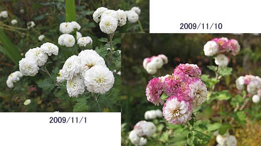 20100121ponpongiku1101&10.jpg