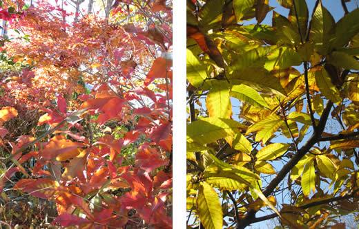 20100127momiji&kuri091125.jpg